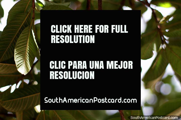Limón en un árbol, naturaleza en la Casa Museo Antonio Ricaurte en Villa de Leyva. (720x480px). Colombia, Sudamerica.