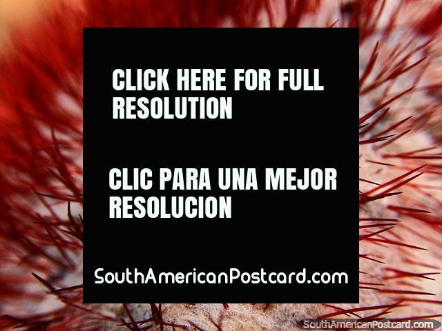 Ponta de um cacto vermelho, tiro macro da Casa de Terracota em Villa de Leyva. (640x480px). Colômbia, América do Sul.