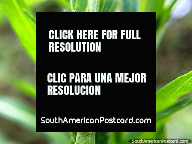 Pequeno inseto, foto macro do Santuário de Flora e Fauna Iguaque, Villa de Leyva. (640x480px). Colômbia, América do Sul.
