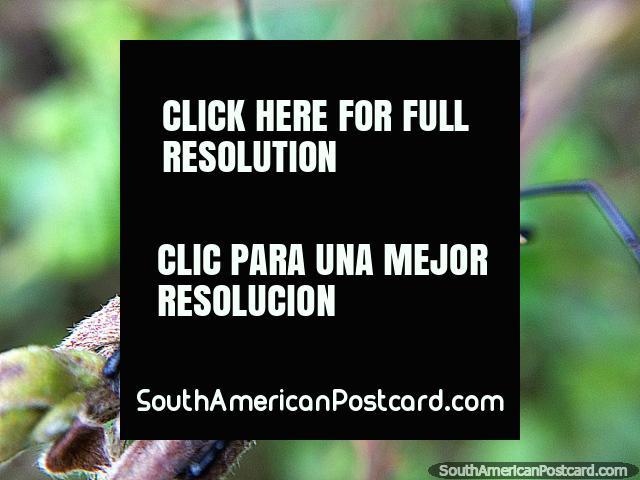 Um inseto interessante no Santuário de Flora e Fauna Iguaque perto de Villa de Leyva, macro. (640x480px). Colômbia, América do Sul.