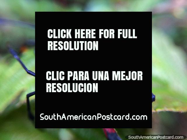 Explorando o Santuário de Flora e Fauna Iguaque de insetos, Villa de Leyva. (640x480px). Colômbia, América do Sul.