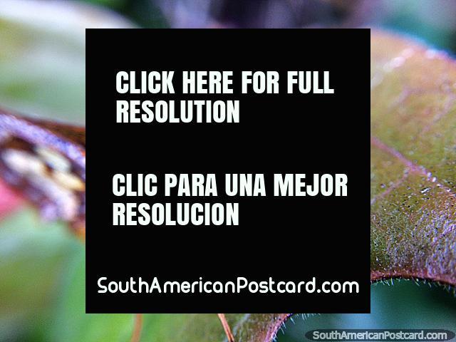 Inseto atraente, fotografia macro no Santuário de Flora e Fauna Iguaque perto de Villa de Leyva. (640x480px). Colômbia, América do Sul.