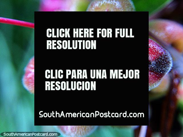 Pequenas maçãs de caranguejo com cabelos brancos, foto macro no Santuário de Flora e Fauna Iguaque, Villa de Leyva. (640x480px). Colômbia, América do Sul.