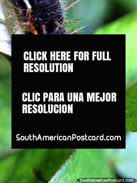 Lagarta assustadora com pregos agudos, foto macro no Santuário de Flora e Fauna Iguaque, Villa de Leyva. (480x640px). Colômbia, América do Sul.