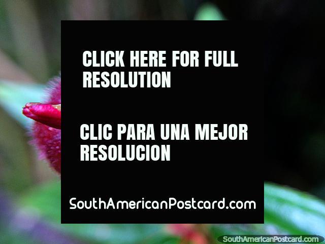 Pequena vagem de flor vermelha, a natureza fecha, o Santuário de Flora e Fauna Iguaque, Villa de Leyva. (640x480px). Colômbia, América do Sul.