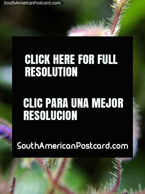 Fábricas com cabelos que brilham em foto leve, macro, Santuário de Flora e Fauna Iguaque, Villa de Leyva. (480x640px). Colômbia, América do Sul.