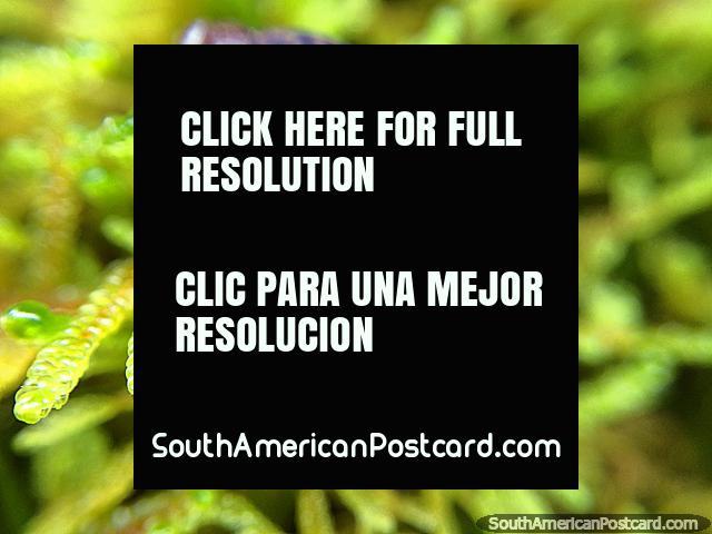 Lesma, foto macro tomada com um I-Phone e Olloclip, Santuário de Flora e Fauna Iguaque, Villa de Leyva. (640x480px). Colômbia, América do Sul.