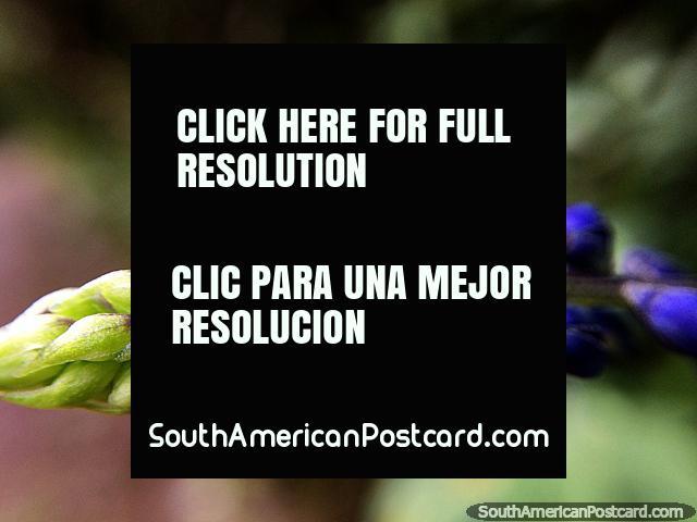 Vainas de flores verdes que cambian a morado, foto macro, Santuario de Flora y Fauna Iguaque, Villa de Leyva. (640x480px). Colombia, Sudamerica.