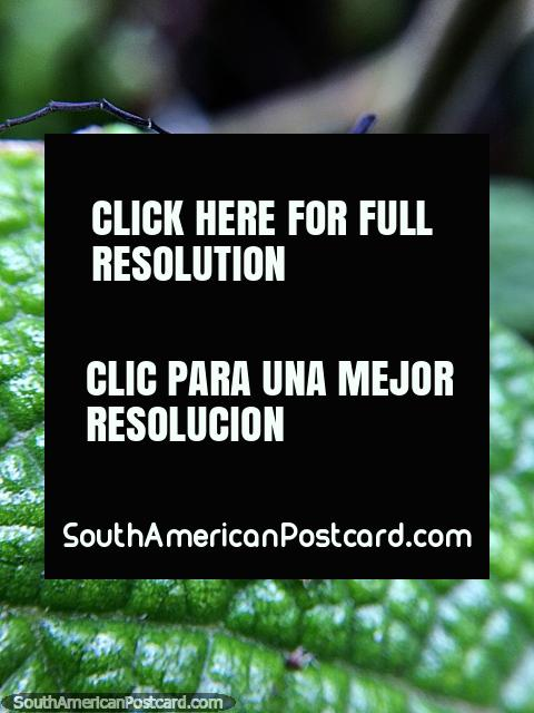Foto macro de um besouro marrom e preto no Santuário de Flora e Fauna Iguaque, Villa de Leyva. (480x640px). Colômbia, América do Sul.