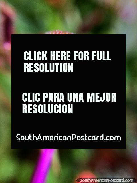Gotinhas de água e cabelos muito pequenos de um botão de flor, Santuário de Flora e Fauna Iguaque, Villa de Leyva. (480x640px). Colômbia, América do Sul.