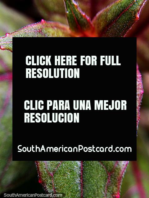 Os detalhes de natureza, vagens de flor vermelhas, folhas verde-escuras, Santuário de Flora e Fauna Iguaque, Villa de Leyva. (480x640px). Colômbia, América do Sul.