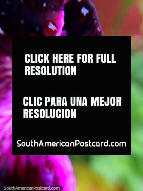 Girando la flor rosa, hermosa flora y colores en el Santuario de Flora y Fauna Iguaque, Villa de Leyva. (480x640px). Colombia, Sudamerica.