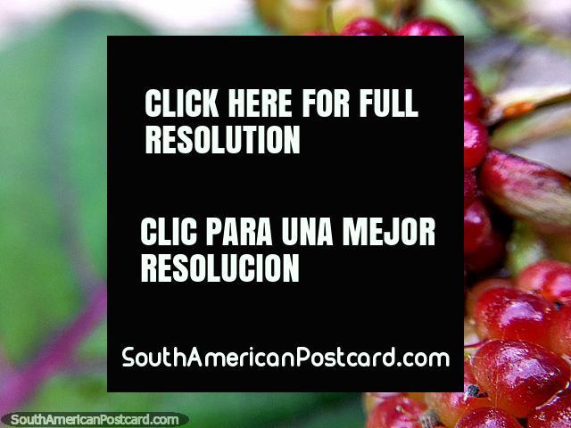Paisagem de uma framboesa, foto macro, Santuário de Flora e Fauna Iguaque, Villa de Leyva. (640x480px). Colômbia, América do Sul.