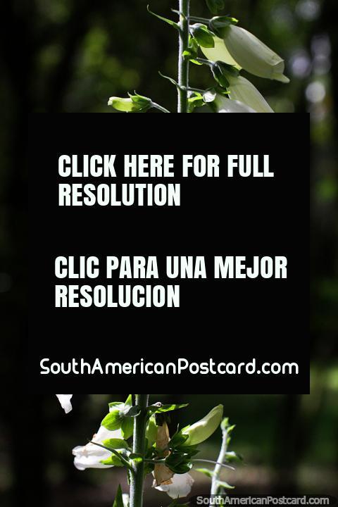 Flores blancas en el sol, flora a lo largo del camino a la laguna sagrada en Guatavita. (480x720px). Colombia, Sudamerica.
