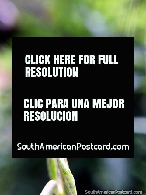 Cegonha de fábrica encaracolada, gostando de natureza na Reserva de Lagoa de Cacique em Guatavita. (480x640px). Colômbia, América do Sul.