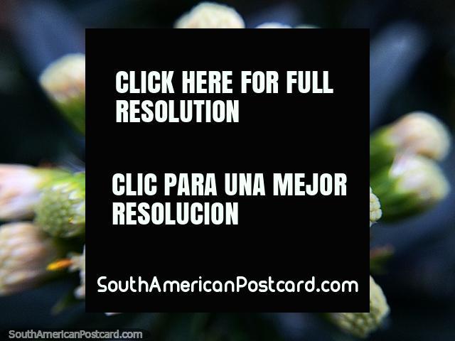 Flor muito pequena e botões, foto macro tomada andando a lagoa de Guatavita. (640x480px). Colômbia, América do Sul.