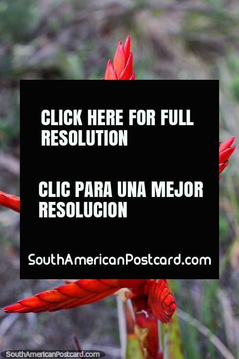 Planta roja parecida a un lino con una forma de estrella interesante en la reserva de la Laguna Cacique, Guatavita. (480x720px). Colombia, Sudamerica.