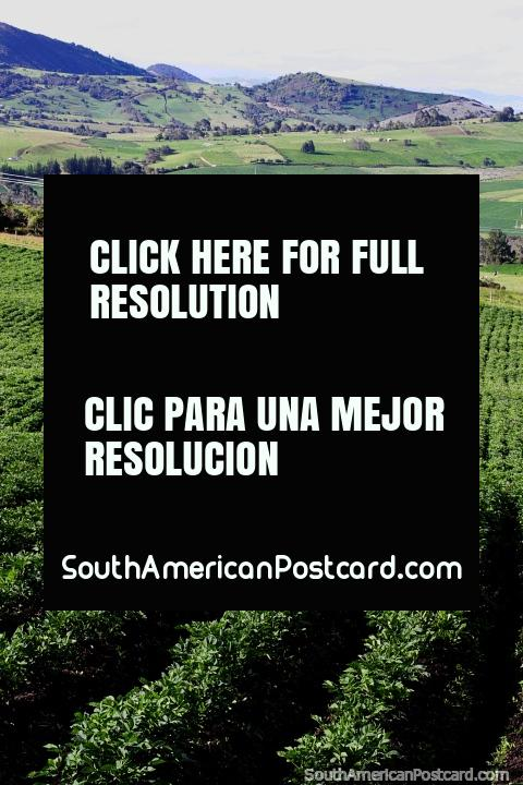 Crop fields, possibly lavender, in the area surrounding Cacique Guatavita Lagoon. (480x720px). Colombia, South America.