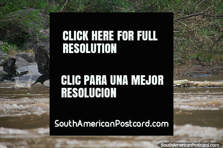 Black river birds take flight on the Magdalena River in Girardot. (720x480px). Colombia, South America.