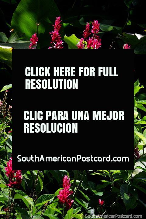 Pétalas rosa e folhas verdes viçosas, a bela flora em Jardins botânicos de San Jorge em Ibague. (480x720px). Colômbia, América do Sul.