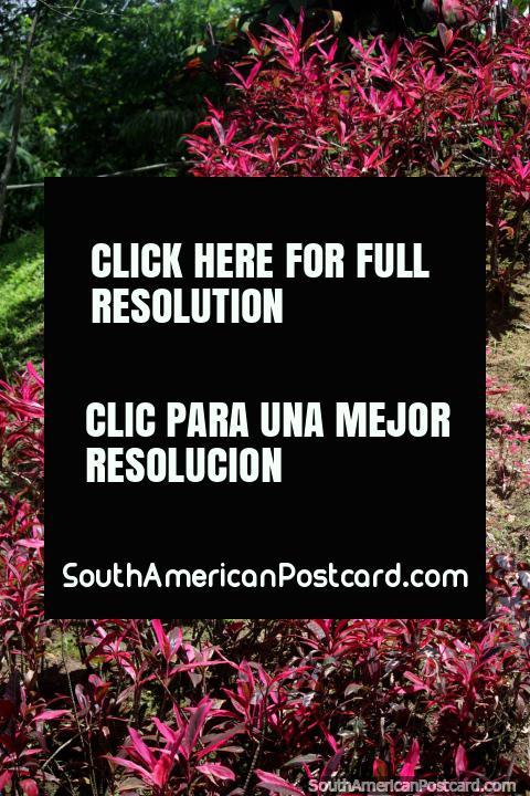 As folhas parecidas a um linho rosa cobrem um banco de sujeira e brilham ao sol, Jardins botânicos de San Jorge, Ibague. (480x720px). Colômbia, América do Sul.
