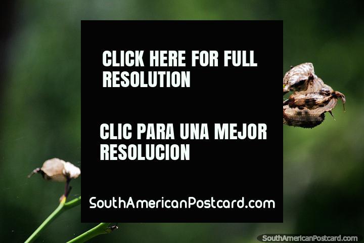 Las vainas secas muertas dieron sus vidas para hacer que los jardines botánicos de Ibagué fueran un lugar hermoso. (720x480px). Colombia, Sudamerica.