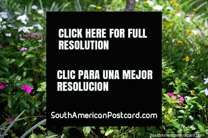 Flores purpúreas, amarelas e brancas em um espaço ervoso, a natureza é bela em Jardins botânicos de San Jorge em Ibague. (720x480px). Colômbia, América do Sul.