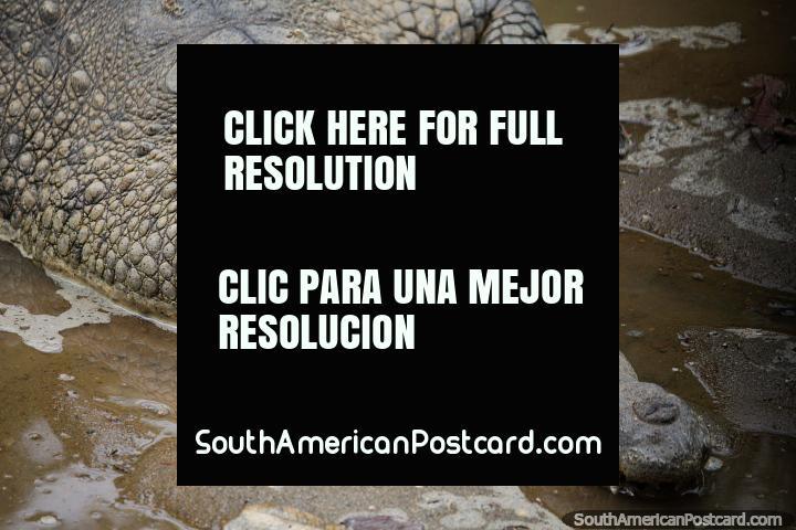 El Cocodrilo Magdalena, ojos abiertos, dientes afilados, piel áspera, Zoológico de Cali. (720x480px). Colombia, Sudamerica.