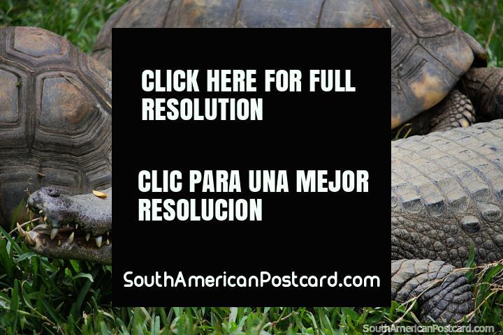 Crocodilo e tartarugas que se sentam em conjunto em grama em Jardim zoológico de Cali. (720x480px). Colômbia, América do Sul.