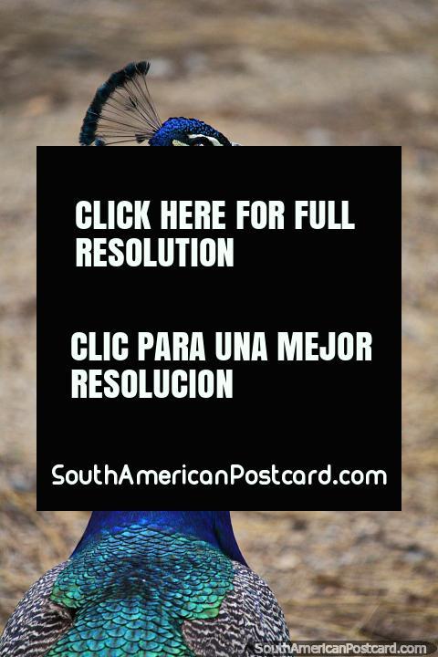 Pavão, azul, verde e cinza, tempo de vida de 10-25 anos, Jardim zoológico de Cali. (480x720px). Colômbia, América do Sul.