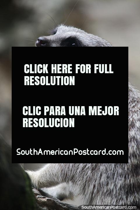 Suricata também conhecido como Meerkat, come roedores, lagartos, cobras, escorpiões, aranhas e ovos, Jardim zoológico de Cali. (480x720px). Colômbia, América do Sul.
