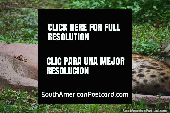 A hiena descoberta, considerada por muitos para ser um sïmbolo da maldade, vê-o no Jardim zoológico de Cali. (720x480px). Colômbia, América do Sul.