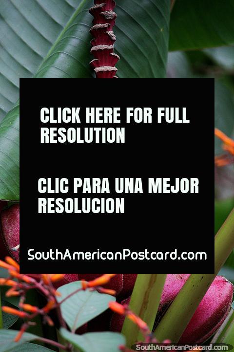 Los plátanos rosados crecen en un ambiente tropical en el Zoológico de Cali. (480x720px). Colombia, Sudamerica.