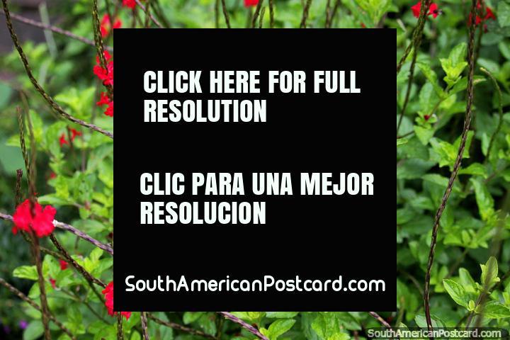 Exuberante flora verde y flores rojas en los jardines del Zoológico de Cali. (720x480px). Colombia, Sudamerica.