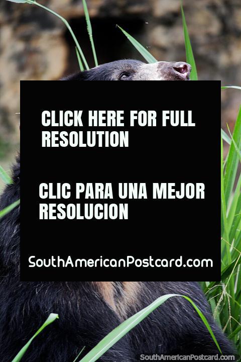 El Oso de Anteojos o el oso de cara corta Andino tiene una vida útil de 20 años o más, el Zoológico de Cali. (480x720px). Colombia, Sudamerica.
