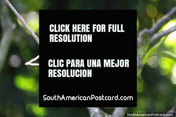 Colibrí verde en los jardines de Reserva Natural de Observación de Aves Tinamu en Manizales. (720x480px). Colombia, Sudamerica.