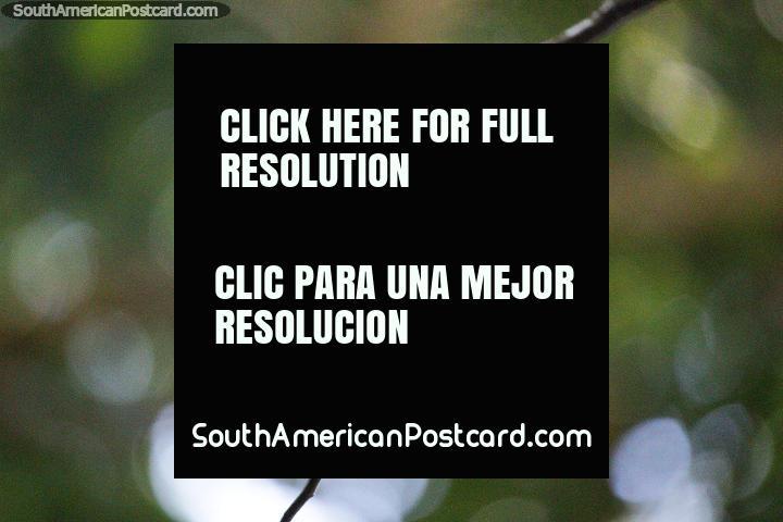 Hermoso colibrí posado en una rama delgada en la Reserva Natural de Observación de Aves Tinamu en Manizales. (720x480px). Colombia, Sudamerica.