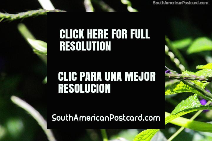 Flores púrpuras, hojas verdes, formas agradables, los jardines de Reserva Natural de Observación de Aves Tinamu en Manizales. (720x480px). Colombia, Sudamerica.