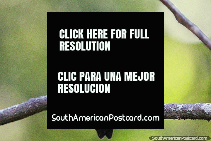 Beija-flor, não ficam ainda por muito tempo, Reserva de Natureza de Observação de aves Tinamu, Manizales. (720x480px). Colômbia, América do Sul.