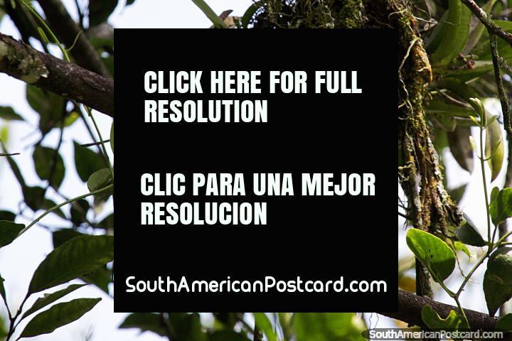 Pájaro de color verde caqui en la Reserva Natural de Observación de Aves Tinamu en Manizales. (720x480px). Colombia, Sudamerica.