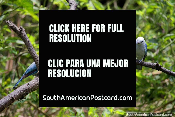 Un par de Tanager gris azulado, el ave más común y frecuentemente vista en la Reserva Natural de Observación de Aves Tinamu en Manizales. (720x480px). Colombia, Sudamerica.