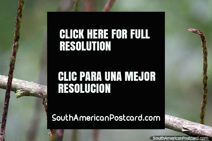 As beija-flores são um dos pássaros mais pequenos, veem-nos na Reserva de Natureza de Observação de aves Tinamu em Manizales. (720x480px). Colômbia, América do Sul.