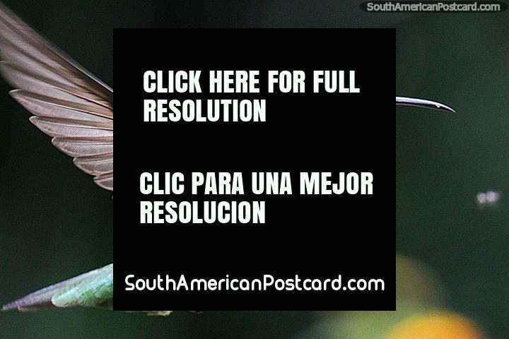 Colibrí verde y azul en la Reserva Natural de Observación de Aves Tinamu en Manizales. (720x480px). Colombia, Sudamerica.