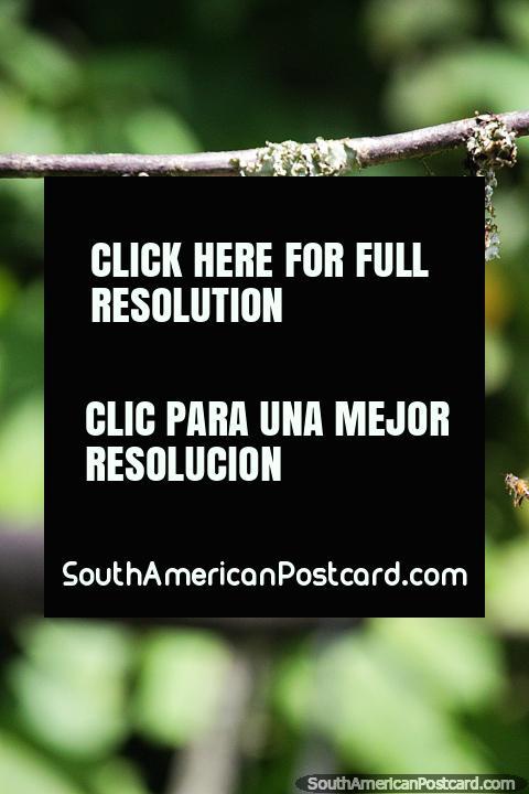 As beija-flores lançam-se em volta muito rapidamente, um desafio a fotografar, Observação de aves Tinamu em Manizales. (480x720px). Colômbia, América do Sul.