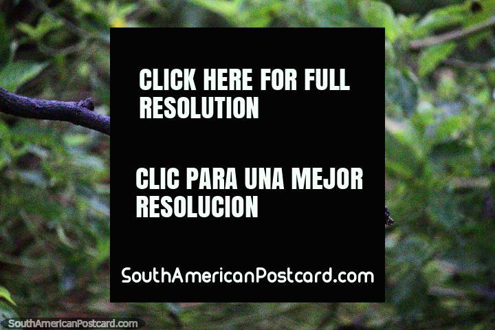 Eufonia Gorgiamarilla, un pequeño pájaro negro y amarillo, Reserva Natural de Observación de Aves Tinamu en Manizales. (720x480px). Colombia, Sudamerica.