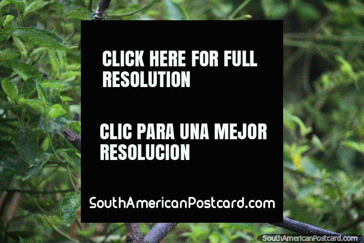 Pájaro negro con dorso naranja brillante, un pájaro oscuro que solo vi una vez en la Reserva Natural de Observación de Aves Tinamu en Manizales. (720x480px). Colombia, Sudamerica.