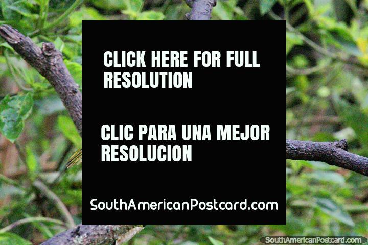 Tanager da cabeça cinza, outro pássaro comum divisa-se na Reserva de Natureza de Observação de aves Tinamu em Manizales. (720x480px). Colômbia, América do Sul.