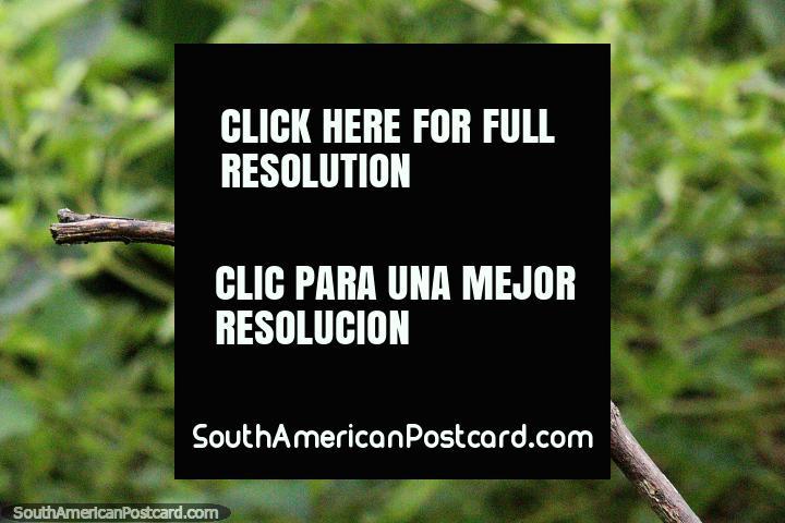 Tanager azul-cinza, um pássaro comum colorido em várias sombras de azul, Observação de aves Tinamu, Manizales. (720x480px). Colômbia, América do Sul.