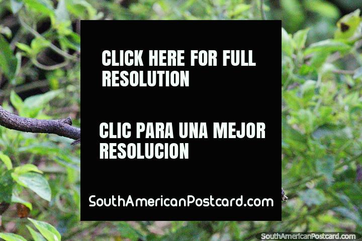 Pájaro rojo con la cabeza y las alas marrones vistas en la Reserva Natural de Observación de Aves Tinamu en Manizales. (720x480px). Colombia, Sudamerica.