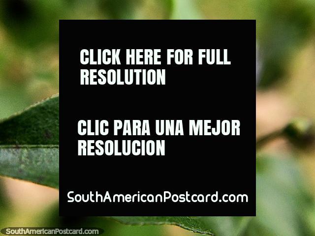 Pequeña pluma blanca en una hoja, foto macro en el jardín de la Reserva Natural de Tinamu en Manizales. (640x480px). Colombia, Sudamerica.